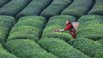 Çay üreticisi tedirgin: Toprağı hiç mi düşünmediniz?