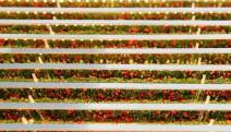 Çölde 1 günde 1 ton domates yetiştirecekler