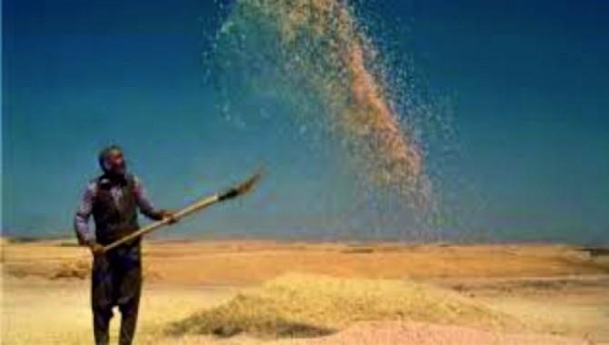 Türkiye'nin buğday üretimini bu yıl yüzde 4,6 azaltacak
